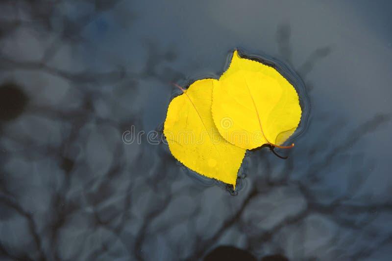 Κίτρινα φύλλα στο νερό Ήρθε ένα φθινόπωρο Φθινοπωρινό φόντο στοκ εικόνα