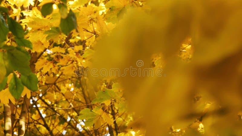 Κίτρινα φύλλα σφενδάμου που γλιστρούν την εστίαση κοντά επάνω των όμορφων μαγικών δέντρων φθινοπώρου, των κίτρινων φύλλων και απί διανυσματική απεικόνιση