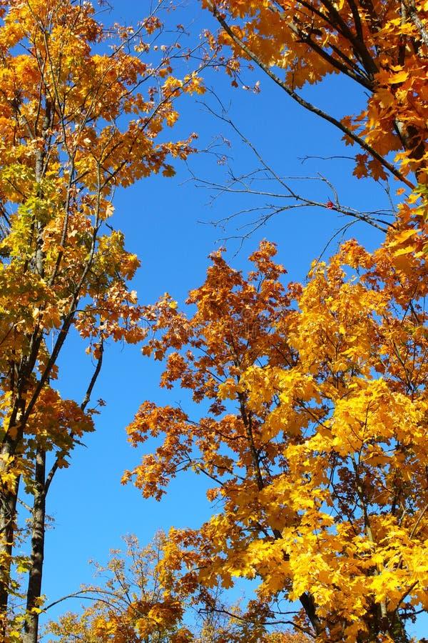 Κίτρινα φύλλα σφενδάμου στο μπλε ουρανό στοκ εικόνα με δικαίωμα ελεύθερης χρήσης