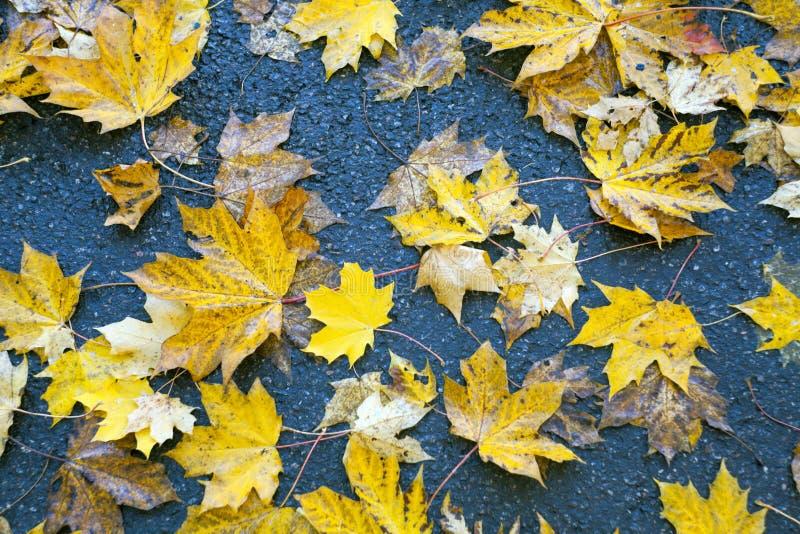 Κίτρινα φύλλα φθινοπώρου του σφενδάμνου που βρίσκεται σε ένα υγρό πεζοδρόμιο ασφάλτου στοκ εικόνα