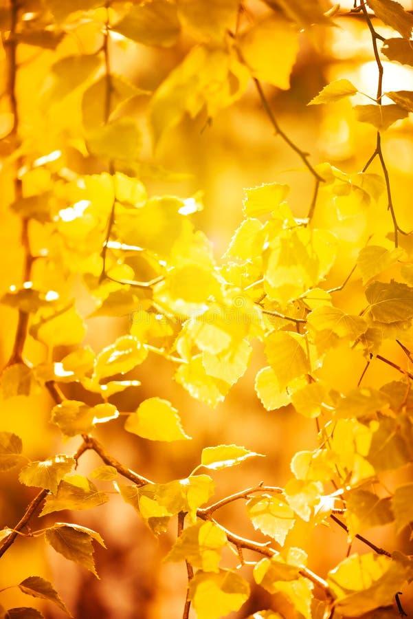 Κίτρινα φύλλα φθινοπώρου στοκ εικόνα με δικαίωμα ελεύθερης χρήσης