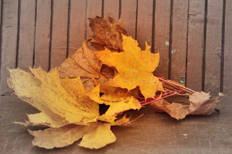 Κίτρινα φύλλα σφενδάμου φθινοπώρου που βρίσκονται στον πάγκο στοκ εικόνες με δικαίωμα ελεύθερης χρήσης