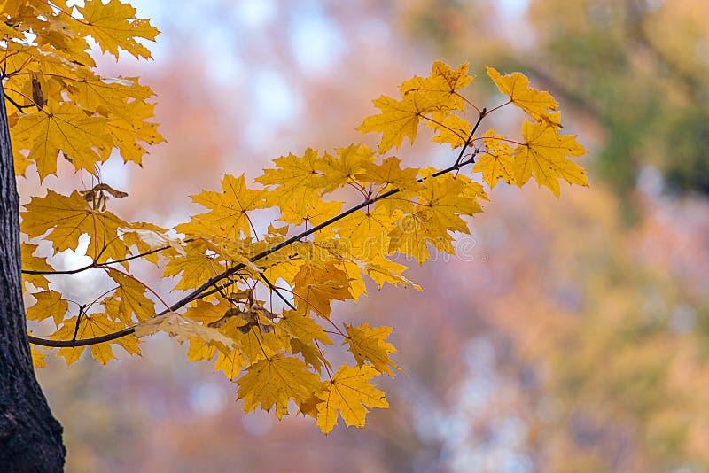 Κίτρινα φύλλα σφενδάμου φθινοπώρου στοκ εικόνες