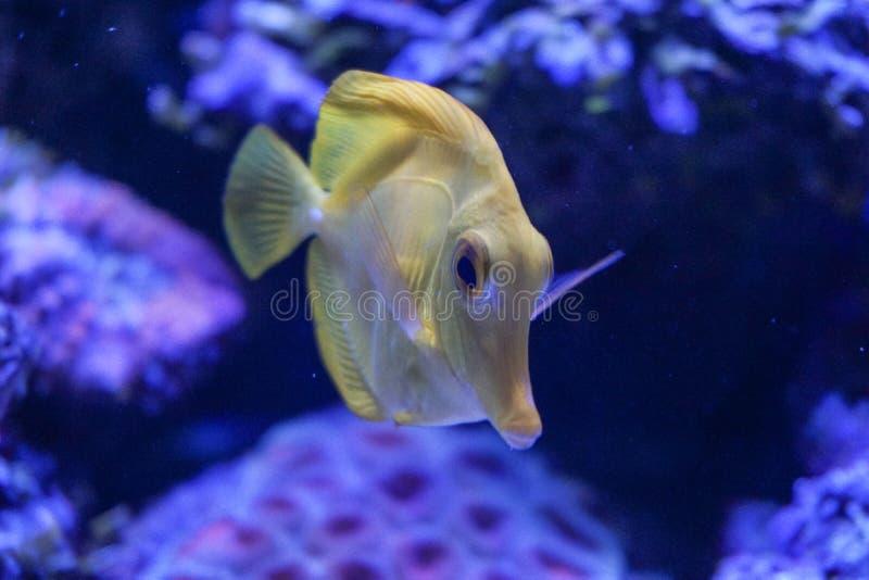 Κίτρινα ψάρια ενυδρείων θαλασσινού νερού zebrasoma γεύσης στοκ φωτογραφία με δικαίωμα ελεύθερης χρήσης