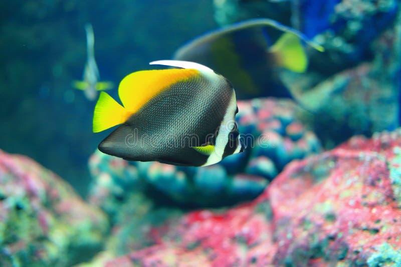 Κίτρινα ψάρια πεταλούδων ουρών στοκ φωτογραφίες με δικαίωμα ελεύθερης χρήσης
