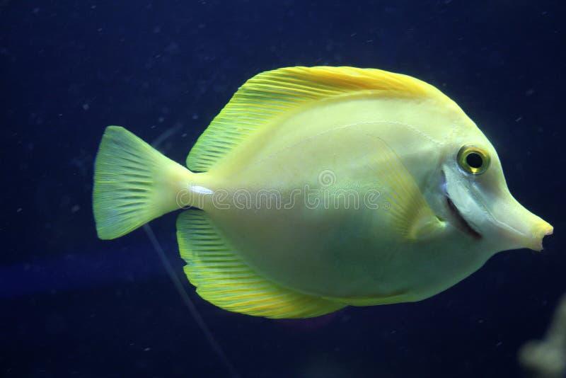Κίτρινα ψάρια στοκ φωτογραφία με δικαίωμα ελεύθερης χρήσης