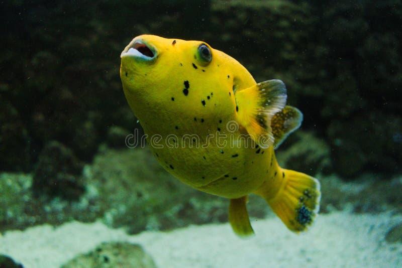 Κίτρινα ψάρια Arothron λεμονιών στοκ εικόνα με δικαίωμα ελεύθερης χρήσης