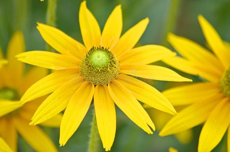 Κίτρινα Chamomile - Doronicum orientale στοκ εικόνα με δικαίωμα ελεύθερης χρήσης