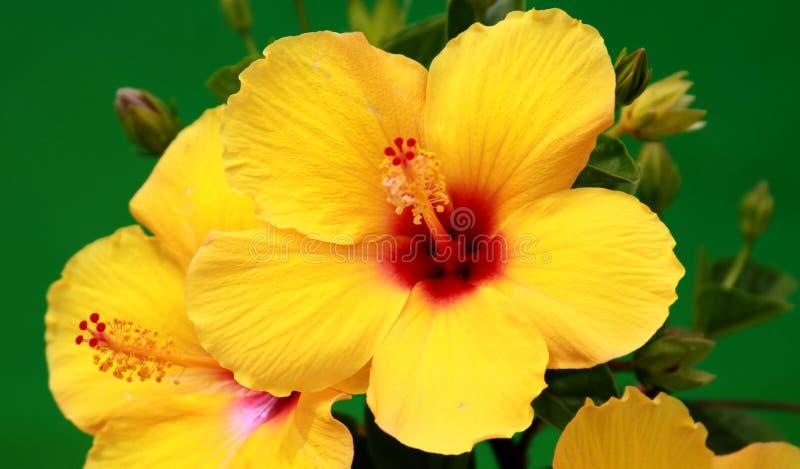 Κίτρινα hibiscus στοκ εικόνα με δικαίωμα ελεύθερης χρήσης