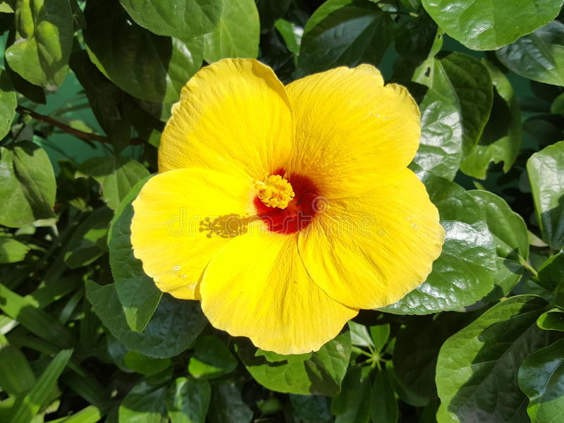 Κίτρινα hibiscus στοκ φωτογραφία με δικαίωμα ελεύθερης χρήσης