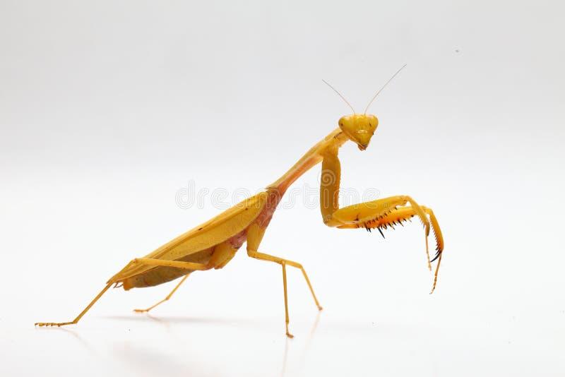 Κίτρινα mantis επίκλησης στο άσπρο υπόβαθρο στοκ εικόνες