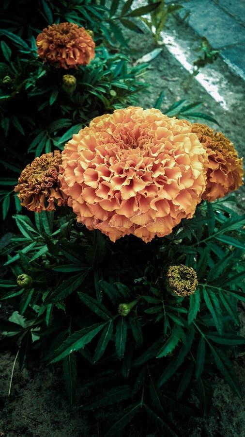 Κίτρινα marigolds στοκ εικόνα