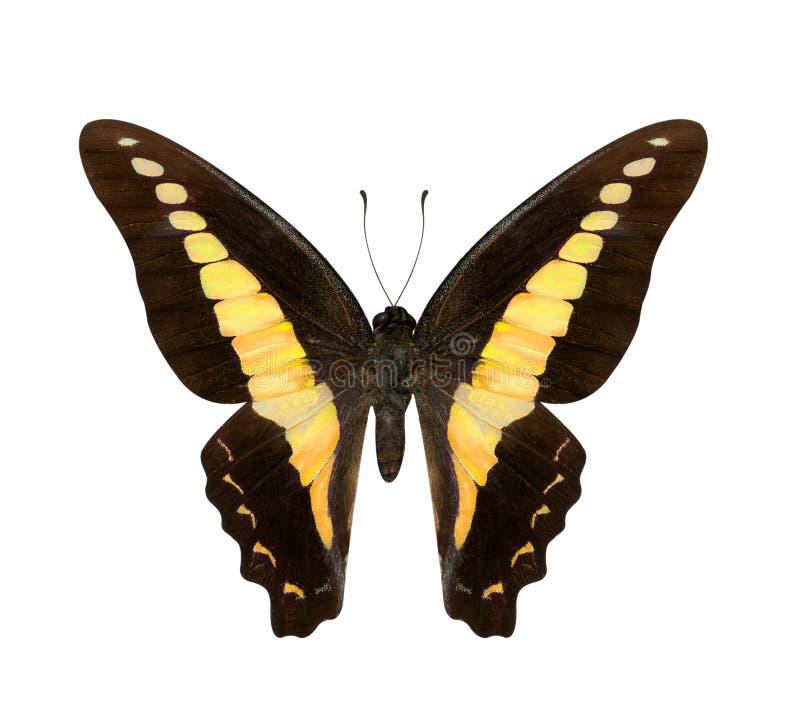 Κίτρινα monteironis Hypolimnas πεταλούδων που απομονώνονται στο μόριο στοκ εικόνες
