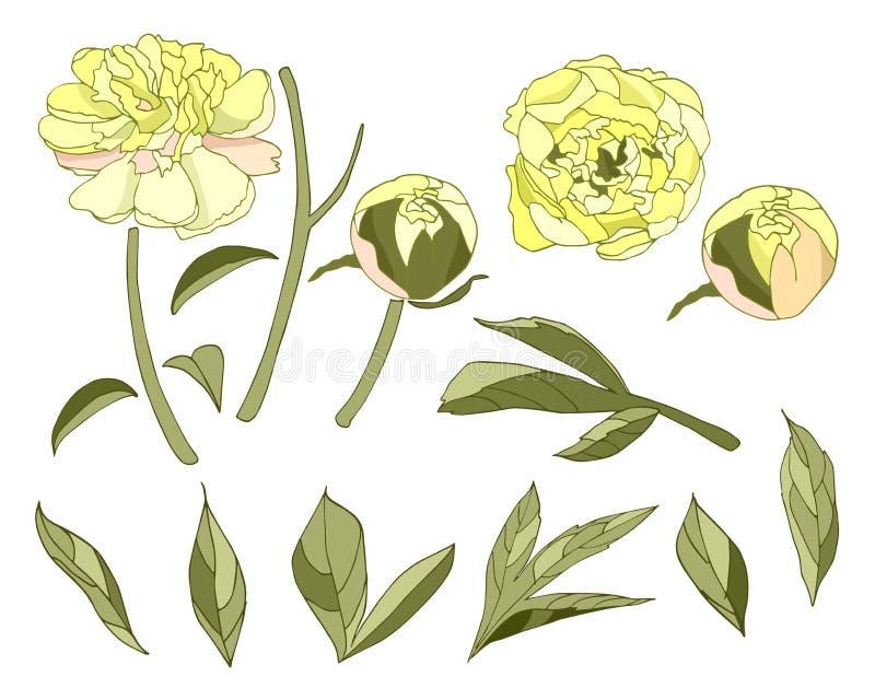 Κίτρινα peony στοιχεία λουλουδιών καθορισμένα διανυσματικά διανυσματική απεικόνιση