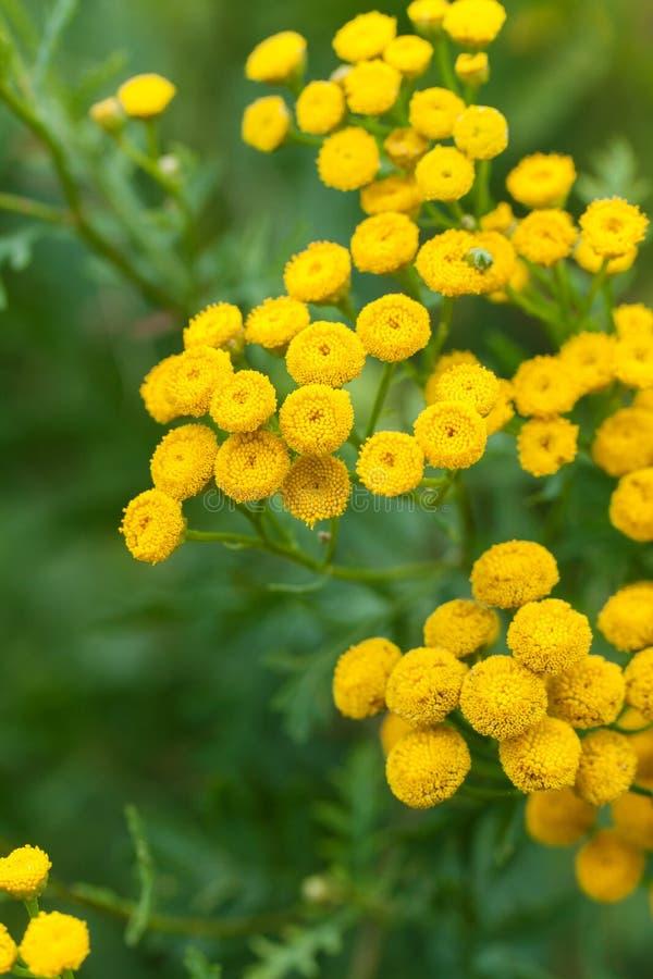 Κίτρινα tansy λουλούδια στοκ φωτογραφία