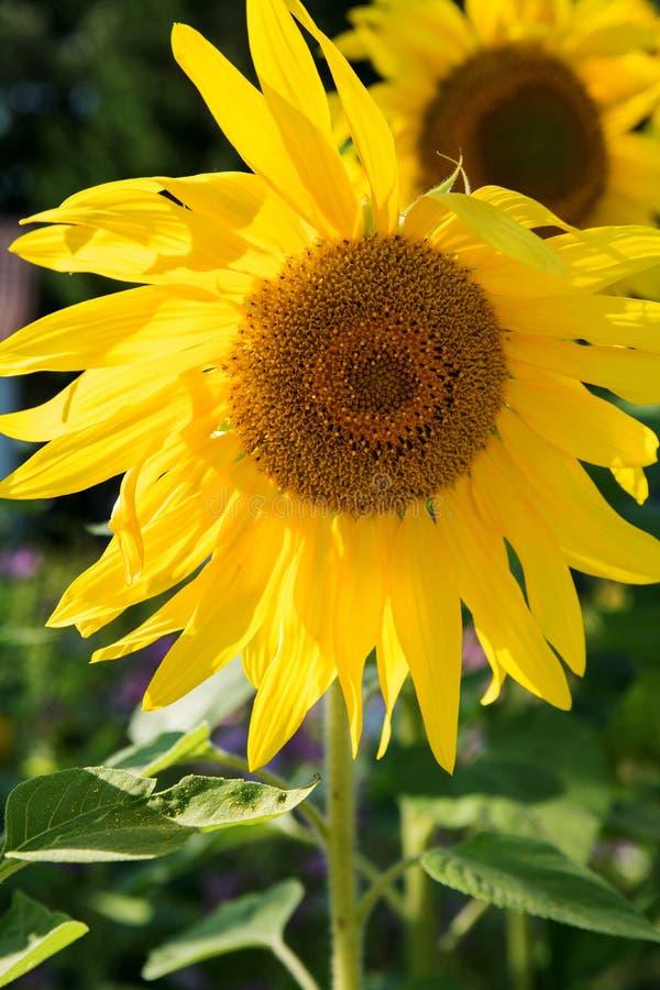 Κίτρινες ανθίσεις ηλίανθων στον κήπο στον ήλιο στοκ εικόνες
