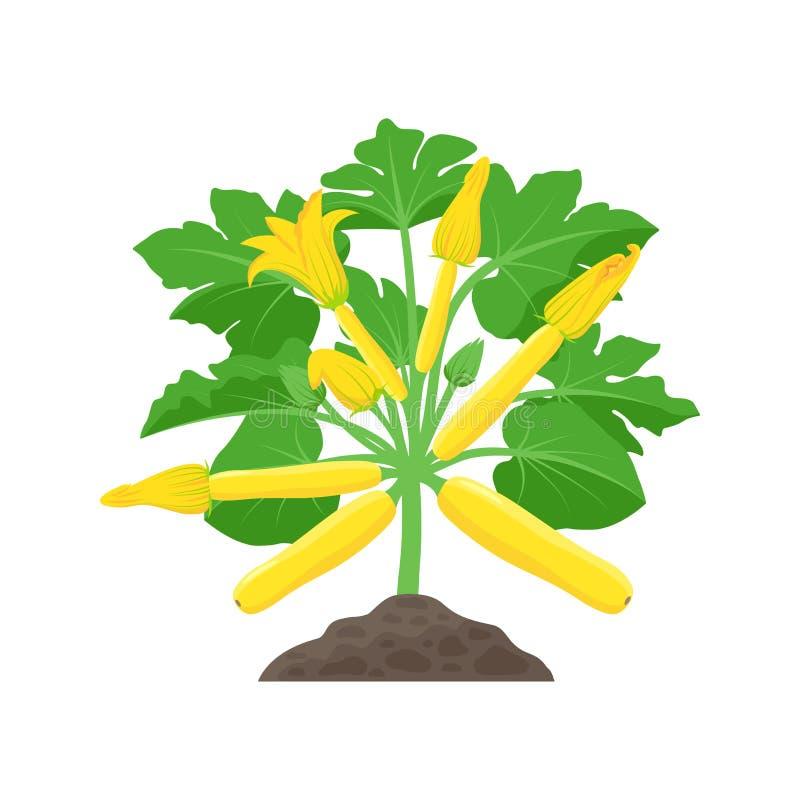Κίτρινες εγκαταστάσεις κολοκυθιών με τα όμορφα άνθη κολοκύνθης που απ απεικόνιση αποθεμάτων