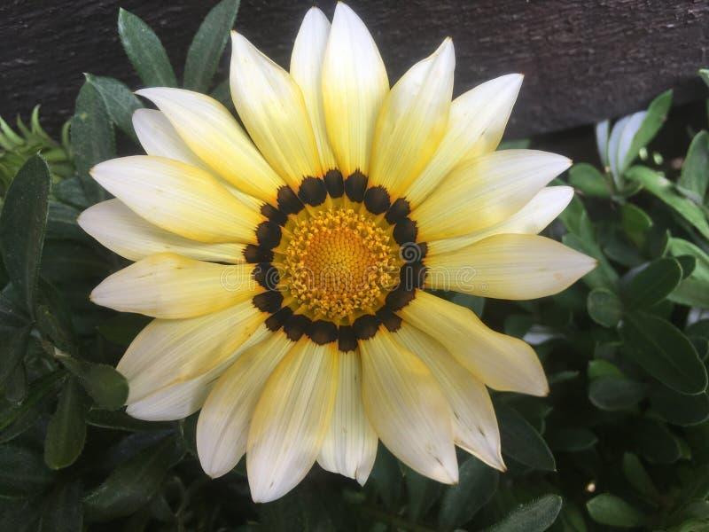Κίτρινες εγκαταστάσεις λουλουδιών μαργαριτών Gazania στοκ φωτογραφίες
