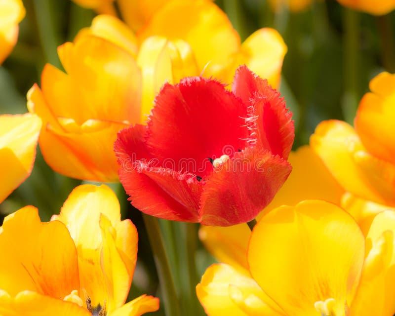 Κίτρινες και πορτοκαλιές τουλίπες στο φεστιβάλ τουλιπών της Ολλανδίας στοκ εικόνα