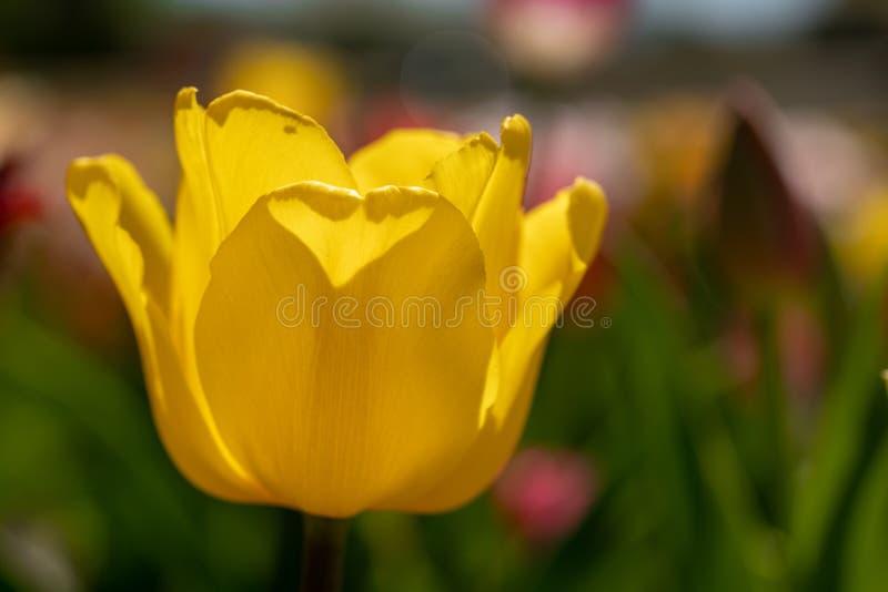 Κίτρινες στάσεις τουλιπών μπροστά από έναν τομέα τουλιπών στοκ φωτογραφίες