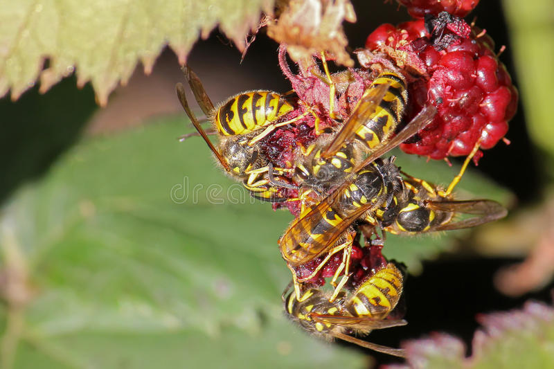 Κίτρινες σφήκες σακακιών που τρώνε τα φρούτα σμέουρων κατά τη διάρκεια του καλοκαιριού στοκ εικόνα με δικαίωμα ελεύθερης χρήσης