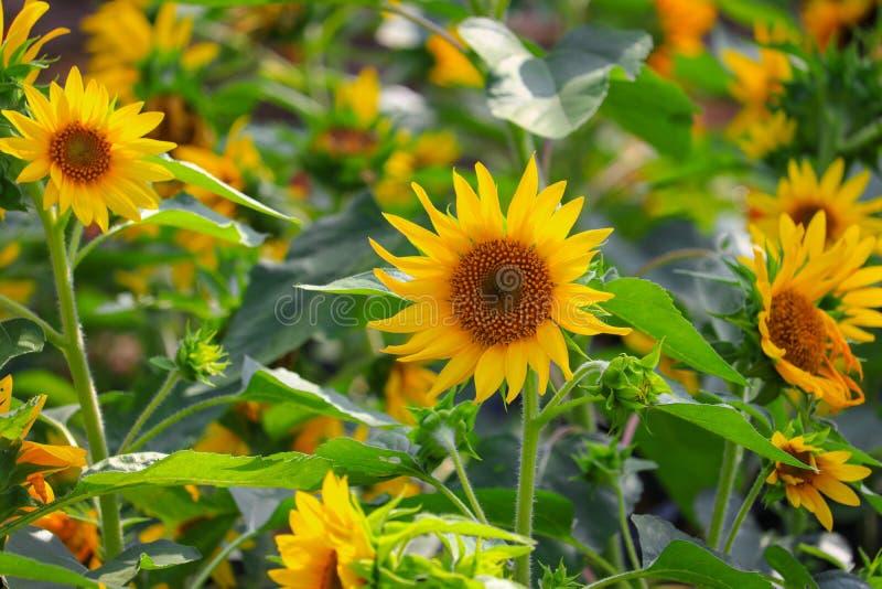 Κίτρινη άνθιση ηλίανθων στο λουλούδι κήπων όμορφο στοκ φωτογραφίες