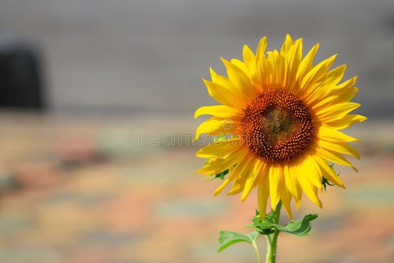 Κίτρινη άνθιση ηλίανθων στο λουλούδι κήπων όμορφο στοκ φωτογραφία με δικαίωμα ελεύθερης χρήσης