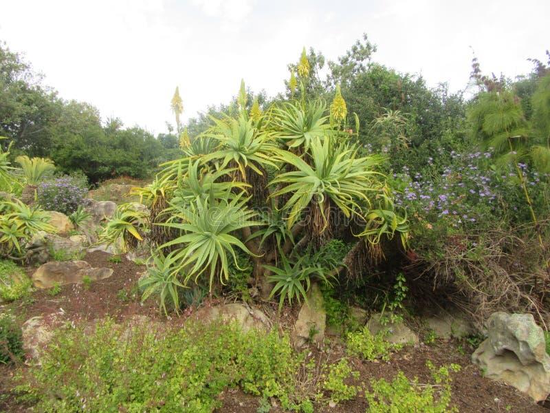 Κίτρινη αλόη στην άνθιση Kirstenbosch στοκ εικόνα με δικαίωμα ελεύθερης χρήσης
