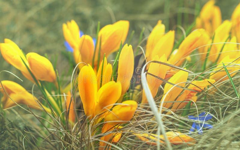 Κίτρινη ανάπτυξη ομάδας κρόκων στη χλόη, ρηχή εστίαση στοκ εικόνες