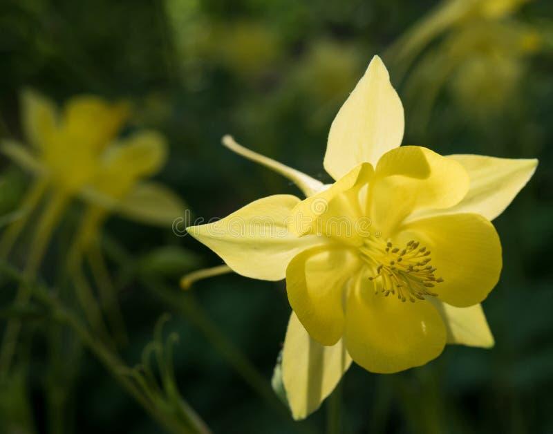 Κίτρινη ανάπτυξη Columbine σε ένα αλσύλλιο στοκ φωτογραφίες με δικαίωμα ελεύθερης χρήσης