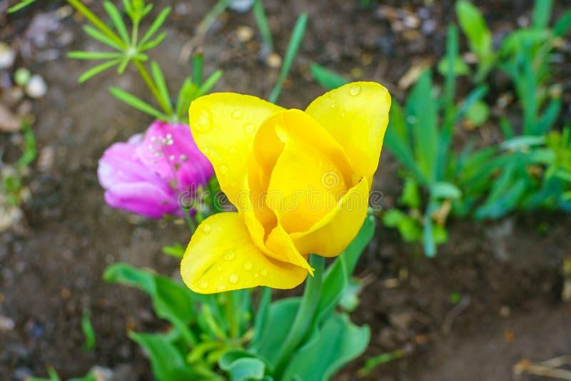 Κίτρινη ανθίζοντας τουλίπα κοντά επάνω με τις πτώσεις πέταλα μετά από τη βροχή την άνοιξη στοκ εικόνα με δικαίωμα ελεύθερης χρήσης