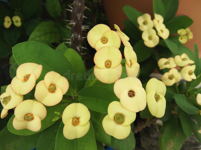 Κίτρινη ανθοδέσμη λουλουδιών του milii ευφορβίας, αγκάθι Χριστού, κορώνα των αγκαθιών στοκ φωτογραφία με δικαίωμα ελεύθερης χρήσης
