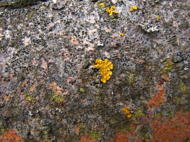Κίτρινη βλάστηση λειχήνων στην κινηματογράφηση σε πρώτο πλάνο φλοιών δέντρων τέφρας στοκ εικόνες