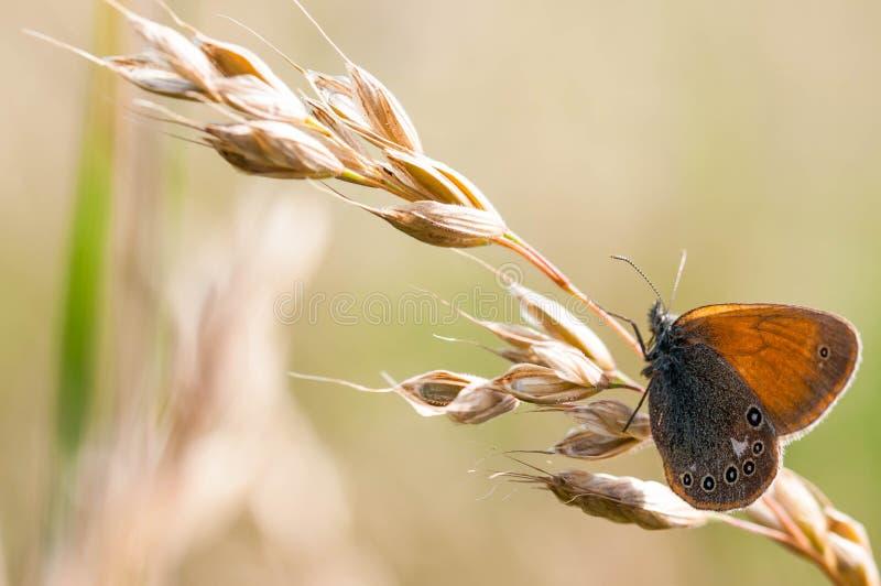 Κίτρινη γκρίζα συνεδρίαση glycerion Coenonympha πεταλούδων στη βαμμένη χλόη στοκ εικόνες