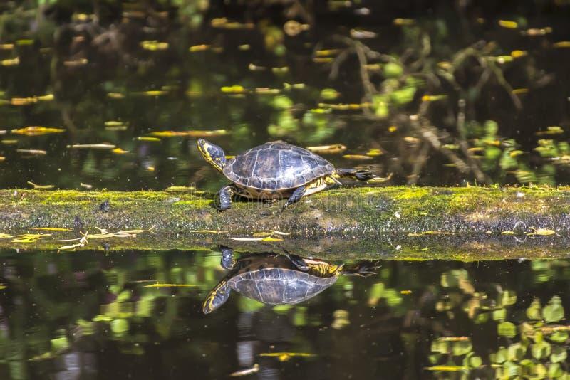 Κίτρινη διογκωμένη χελώνα που περπατά σε ένα κούτσουρο που επιπλέει στο νερό στοκ εικόνες