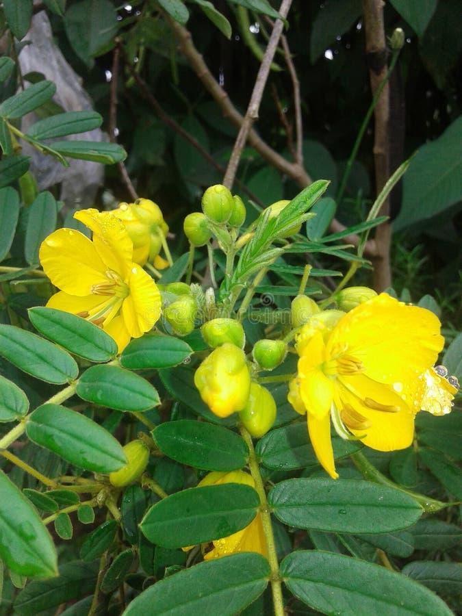 Κίτρινη ιατρική λουλουδιών λουλουδιών όμορφη στοκ φωτογραφίες
