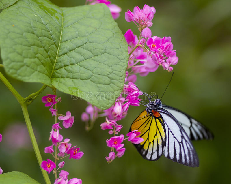 Κίτρινη και άσπρη πεταλούδα στοκ φωτογραφία με δικαίωμα ελεύθερης χρήσης
