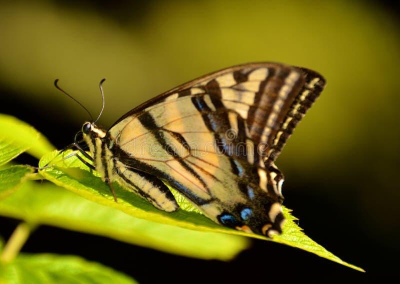 Κίτρινη και μαύρη πεταλούδα στοκ φωτογραφίες
