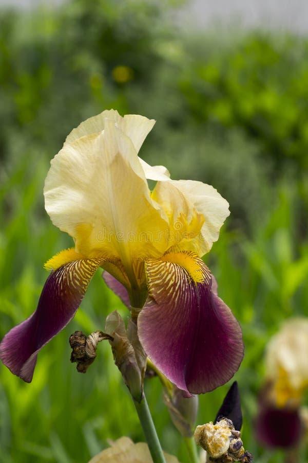 Κίτρινη και πορφυρή ίριδα στην πλήρη άνθιση στοκ εικόνα