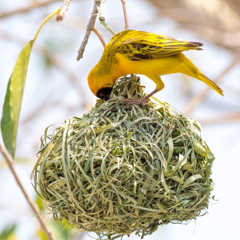 Κίτρινη καλυμμένη φωλιά κτηρίου πουλιών υφαντών στοκ εικόνες