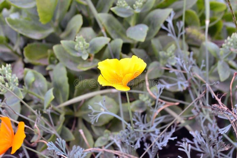Κίτρινη κινηματογράφηση σε πρώτο πλάνο λουλουδιών οίστρο στοκ φωτογραφίες με δικαίωμα ελεύθερης χρήσης