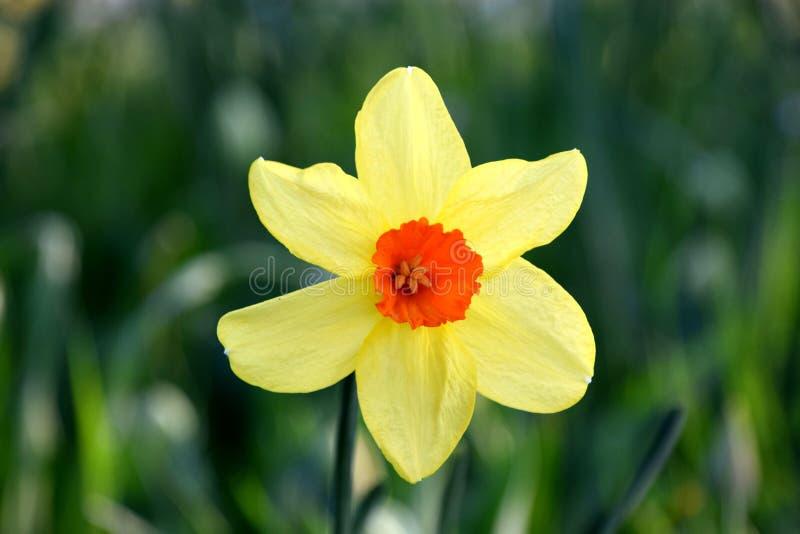 Κίτρινη κινηματογράφηση σε πρώτο πλάνο λουλουδιών pseudonarcissus ναρκίσσων στοκ φωτογραφίες