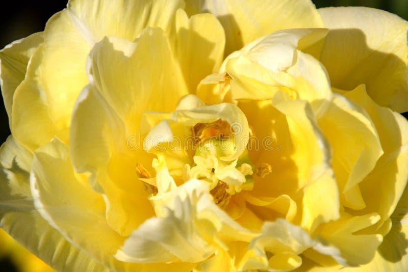 Κίτρινη μακροεντολή τουλιπών, τουλίπα που ανθίζει στην ηλιοφάνεια στοκ εικόνα