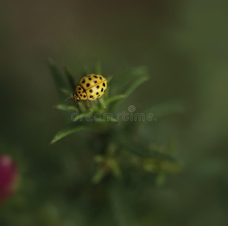 κίτρινη μακροεντολή υποβάθρου φύλλων κανθάρων πράσινη bokeh στοκ εικόνα