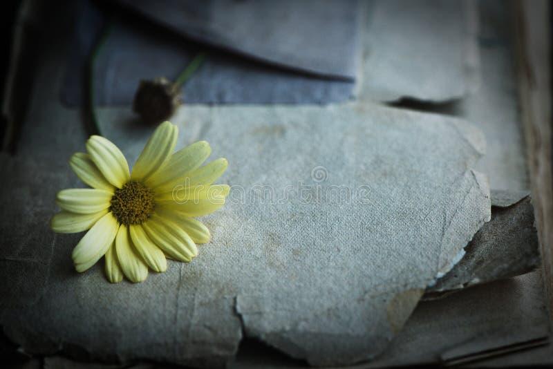 Κίτρινη μαργαρίτα στην παλαιά σύσταση εγγράφου Λουλούδι και βρώμικο και κιτρινισμένο παλαιό υπόβαθρο εγγράφου στοκ εικόνα με δικαίωμα ελεύθερης χρήσης