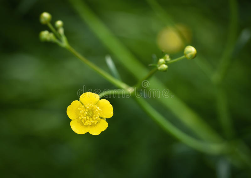 Κίτρινη νεραγκούλα λουλουδιών στοκ φωτογραφία με δικαίωμα ελεύθερης χρήσης