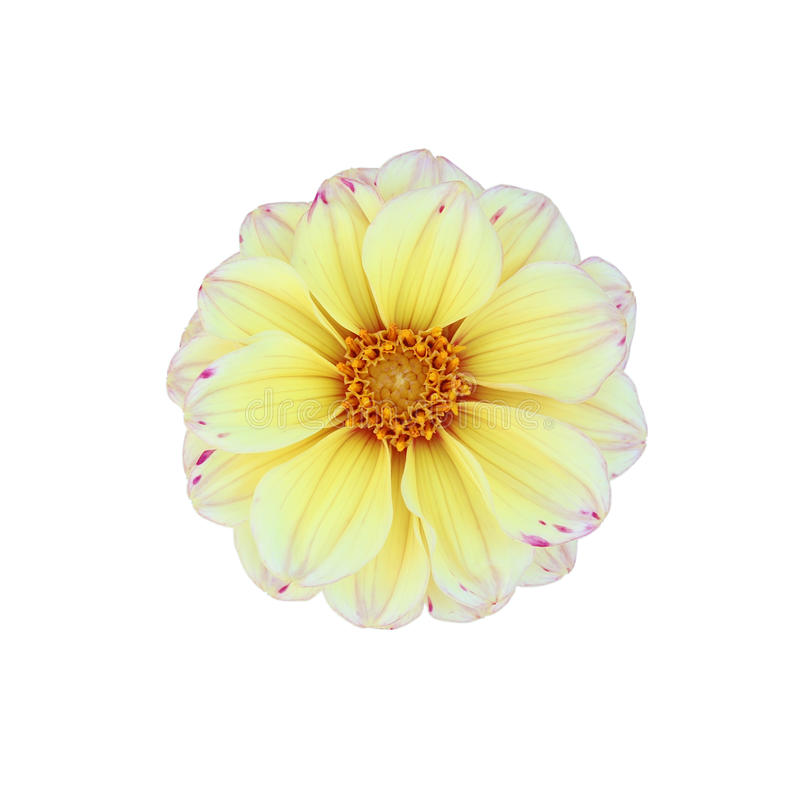 Download Κίτρινη ντάλια που απομονώνεται στο άσπρο υπόβαθρο Στοκ Εικόνα - εικόνα από ντάλια, φαγόπυρου: 62720961
