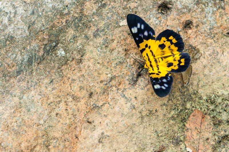 Κίτρινη πεταλούδα στην πέτρα στοκ φωτογραφία