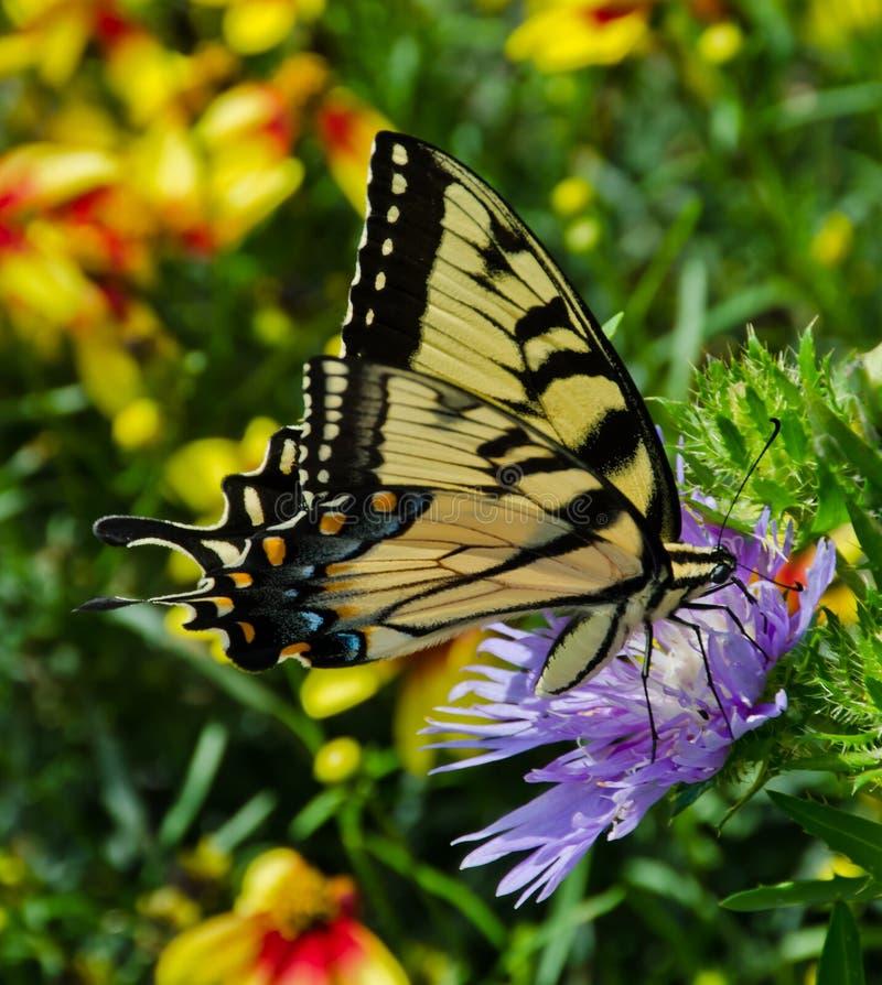Κίτρινη πεταλούδα Swallowtail σε ένα πορφυρό λουλούδι αστέρων στοκ εικόνες