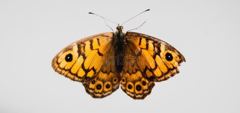 Κίτρινη πεταλούδα στο άσπρο backgrund στοκ εικόνες